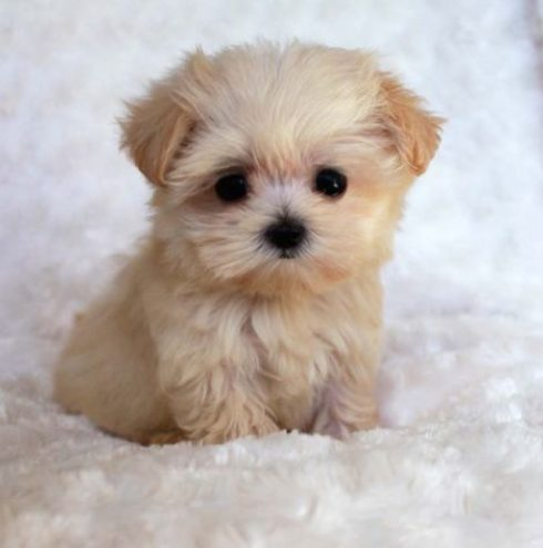 fluffy cute puppies wwwpixsharkcom images galleries