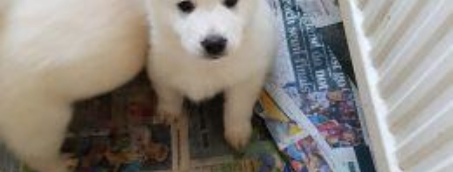 A Guide To The Chusky Breed Chow Chow Husky Mix Groomarts