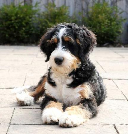 Bernedoodle Bernese Poodle Mix