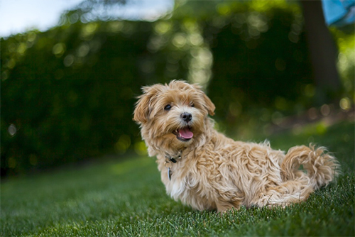 List Of Poodle Cross Breeds Ranked Via Attractiveness