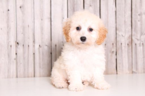 List of Poodle cross-breeds ranked via attractiveness